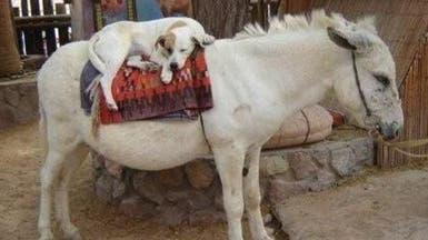 مصر توافق على تصدير حمير للصين وكلاب لكوريا