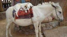 مصر : چین اور کوریا کو گدھے اور کتے برآمد کرنے کی منظوری