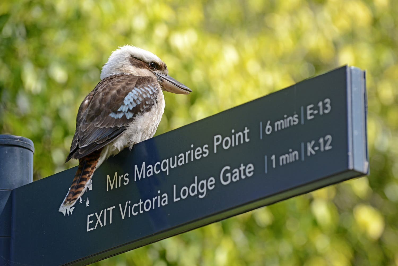 A laughing kookaburra bird sits on a signpost in Sydney. (Shutterstock)