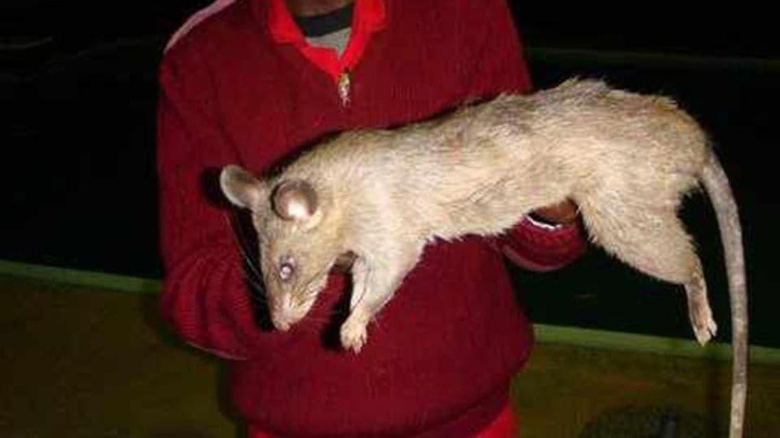 فأر عملاق من جنوب افريقيا من الأنواع التي يمكن أن تهاجم الأطفال