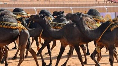 """""""مزاين الإبل"""" تدخل عالم الترفيه السعودي قريباً"""