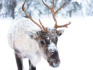 النرويج ستقتل 2000 حيوان لهذا السبب