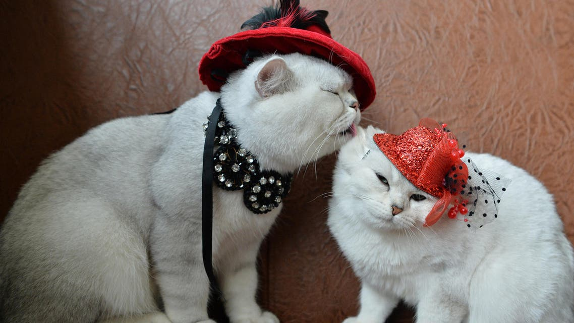 Two Scottish shorthair cats dressed with red hats are pictured during a cat exhibition in Bishkek, on October 16, 2016. (AFP)
