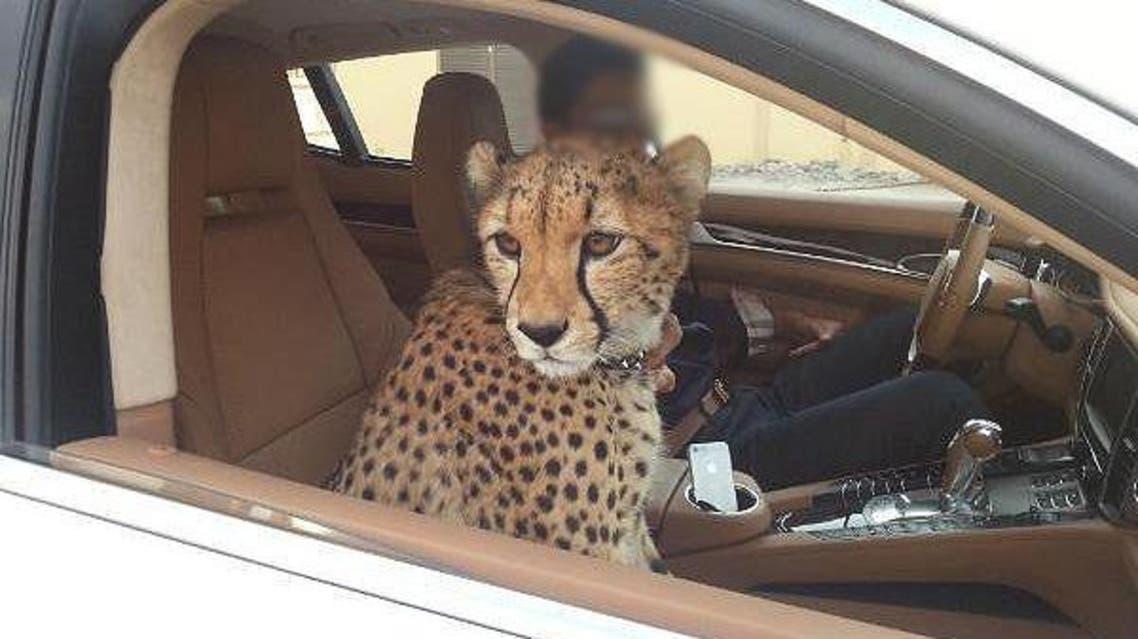 uae cheetah twitter