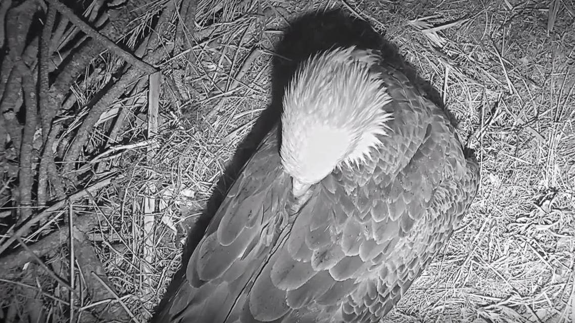 Viewers are currently watching an eagle in Southwest Florida, waiting for her hatch a second egg. (Screengrab)