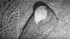 Why are 68 million people watching an eagle on a live stream?