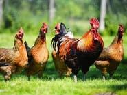 لا تستخف بعقول الدجاج.. فهي ذكية وذات ميول ميكيافيلية