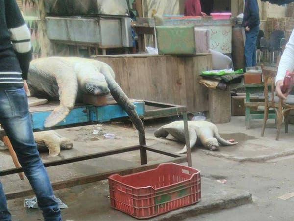شاهد سلاحف مهددة بالانقراض في شوارع الإسكندرية