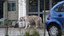 شاهد كيف سيطروا على نمر هرب وسط السكان في مدينة إيطالية