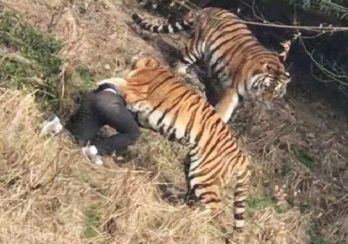 وصعد النمر إلى حيث كان الرجل وأمسك به في الحال، ولم يتركه إلا بعد قتله بالرصاص