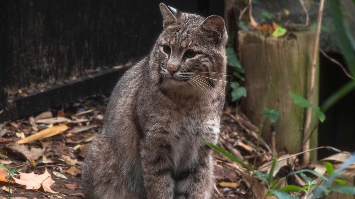 Bobcat Ollie (AFP)