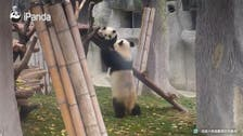 Baby pandas learning to climb, defend territory