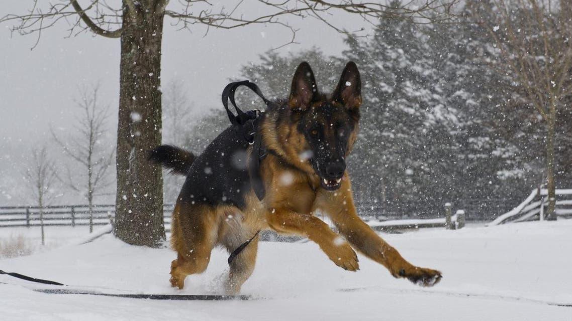 German shepherd. AFP