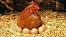 """أحدث الصيحات العلمية.. دجاجة تتحول لـ""""أم بديلة"""""""