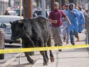بعد مطاردة بشوارع نيويورك.. الشرطة تقتل ثورا فر من مجزر