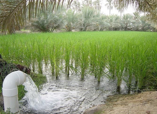الأرز الحساوي