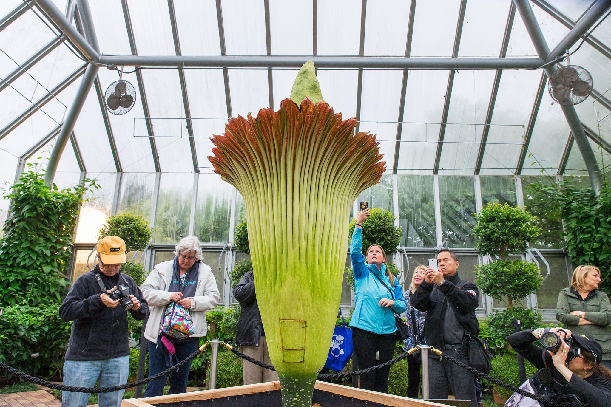 أكبر زهرة في العالم