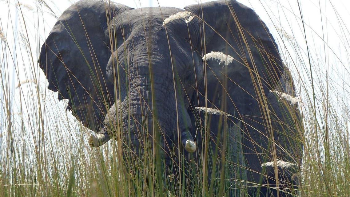 Elephant. (AP)
