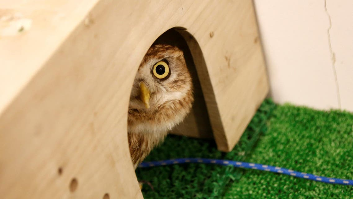 An owl is pictured at an owl cafe in Tokyo, Japan, January 27, 2017. Picture taken January 27, 2017