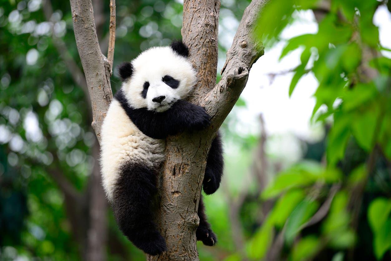 الباندا صعب الإرضاء في علاقاته العاطفية