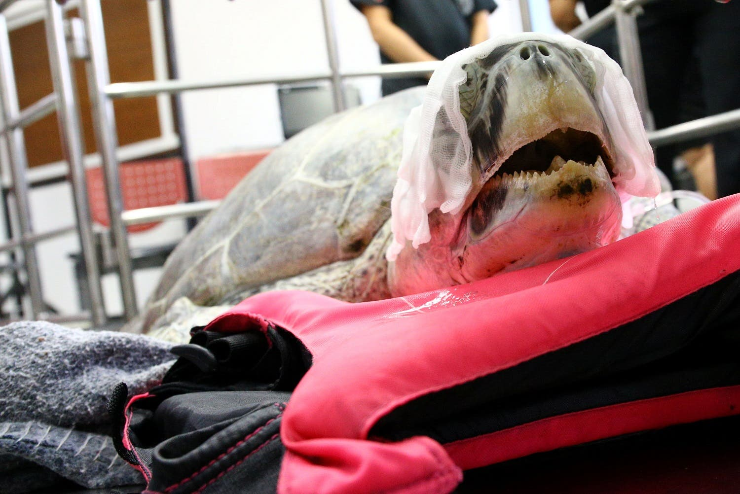 Sea turtle operated in Thailand. (Reuters)