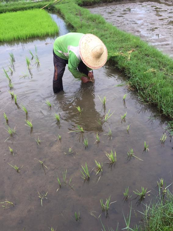 فلاح يزرع الأرز