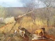 فيديو صادم.. كلاب شرسة مدربة تفترس نمراً بوحشية