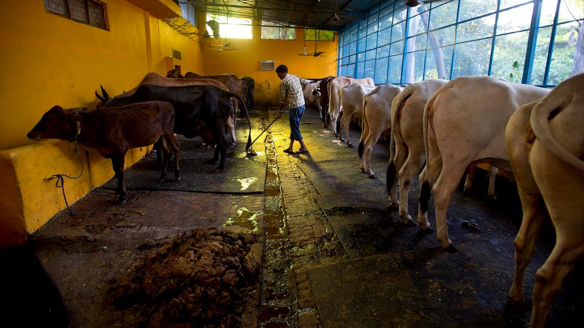 A worker cleans a 'Gaushala' or shelter for cattle in New Delhi, India, Friday, Oct. 9, 2015. (AP)