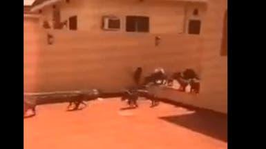 بالفيديو.. قردة تهاجم منتجعاً بالطائف وتعبث بمحتوياته
