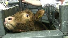 حملة دولية تناهض تعذيب الحيوانات داخل المسالخ