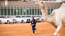 Who is the girl pictured running alongside a camel during a Saudi festival?