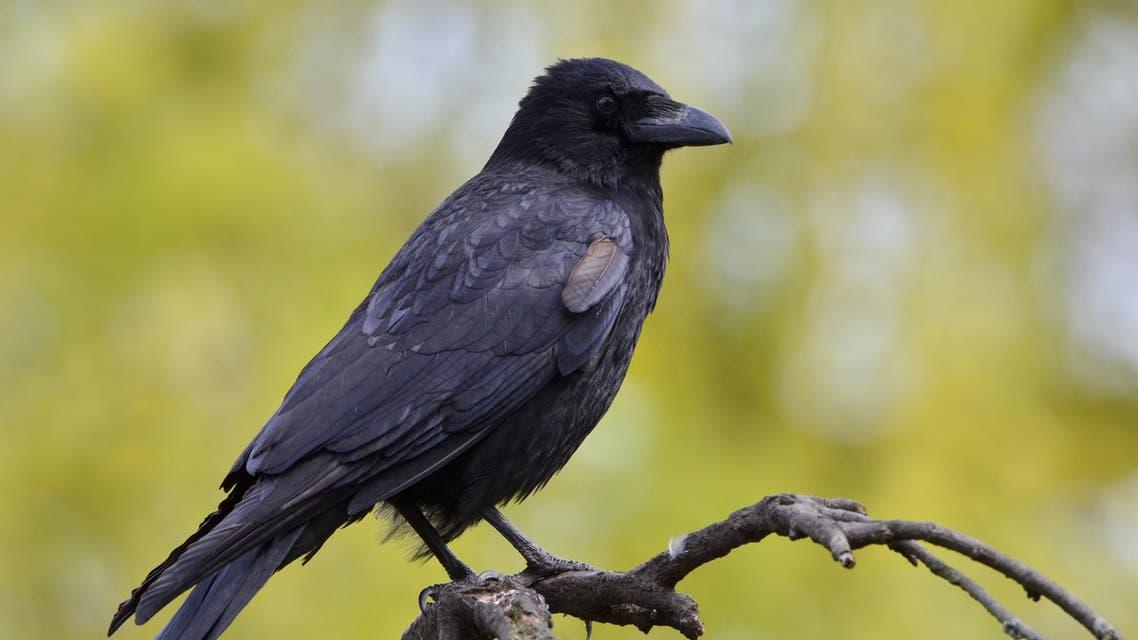 غربان crows
