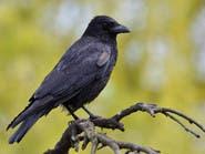 الطيور ذات الأدمغة الكبيرة أقل عرضة للموت بحوادث الطرق