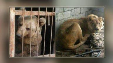 سمبا ولولا.. الحيوانان الوحيدان الناجيان من الموصل
