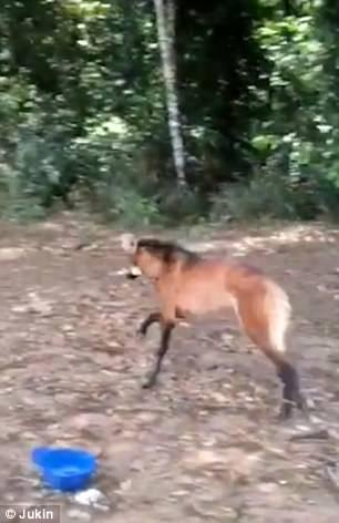 گرگ پس از سیراب شدن به سوی جنگل دوید