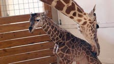 YouTube channel showing giraffe birth 2nd most live-viewed