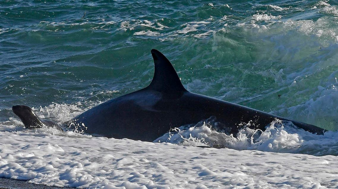 File photo of  Killer whale in Punta Norte, Argentina. (AP)