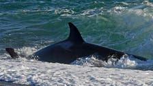 Killer whale seen swimming through UAE waters