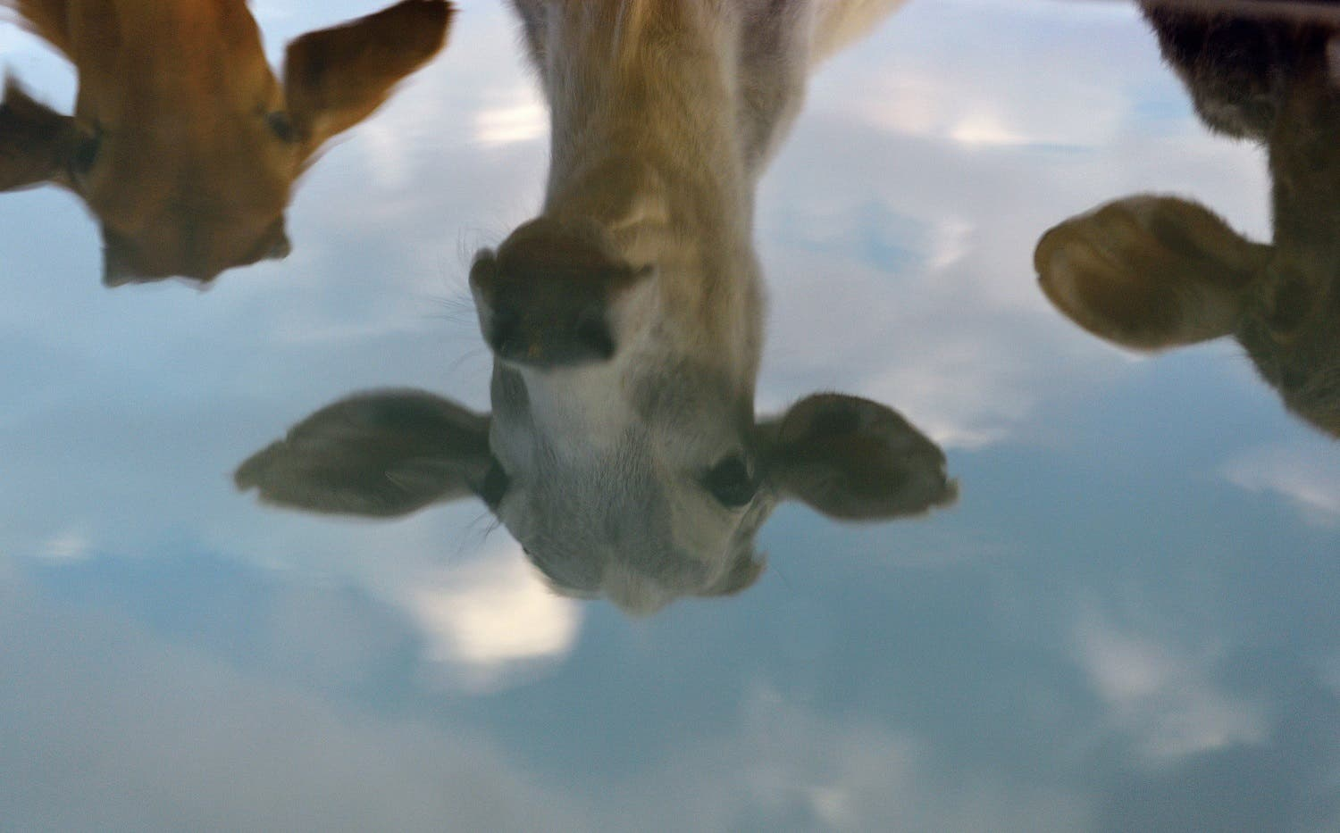 To go with India-politics-religion-beef,FOCUS by Abhaya SRIVASTAVA In this photograph taken on November 5, 2015, cows are reflected at a cow shelter owned by Babulal Jangir, a rustic self-styled leader of cow raiders, and Gau Raksha Dal (Cow Protection Squad) in Taranagar in the desert state of Rajasthan. Cow slaughter and consumption of beef are banned in Rajasthan and many other states of officially secular India which has substantial Muslim and Christian populations, and almost every night a vigilante squad lie in wait for suspected cattle smugglers, in a bid to enforce the ban. AFP PHOTO/CHANDAN KHANNA  Chandan Khanna / AFP
