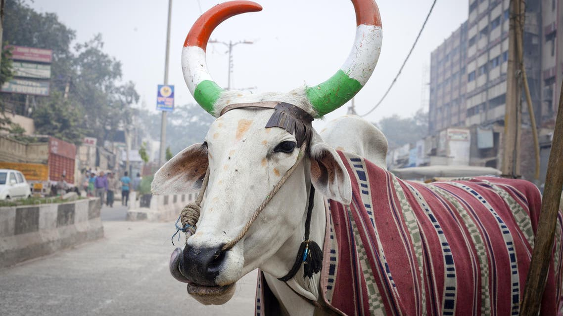 india cow shutterstock