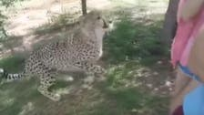 WATCH: Tourist screams in horror as cheetah leaps on her
