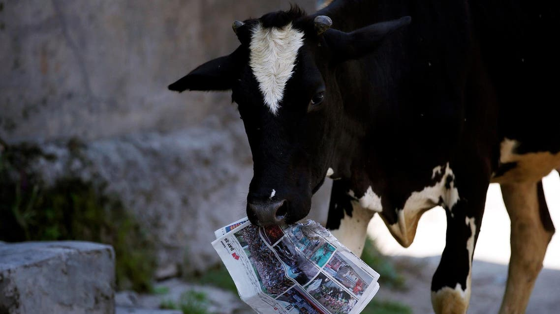 cow holds a copy of a news paper on the outskirts of Srinagar, August 5, 2016. REUTERS