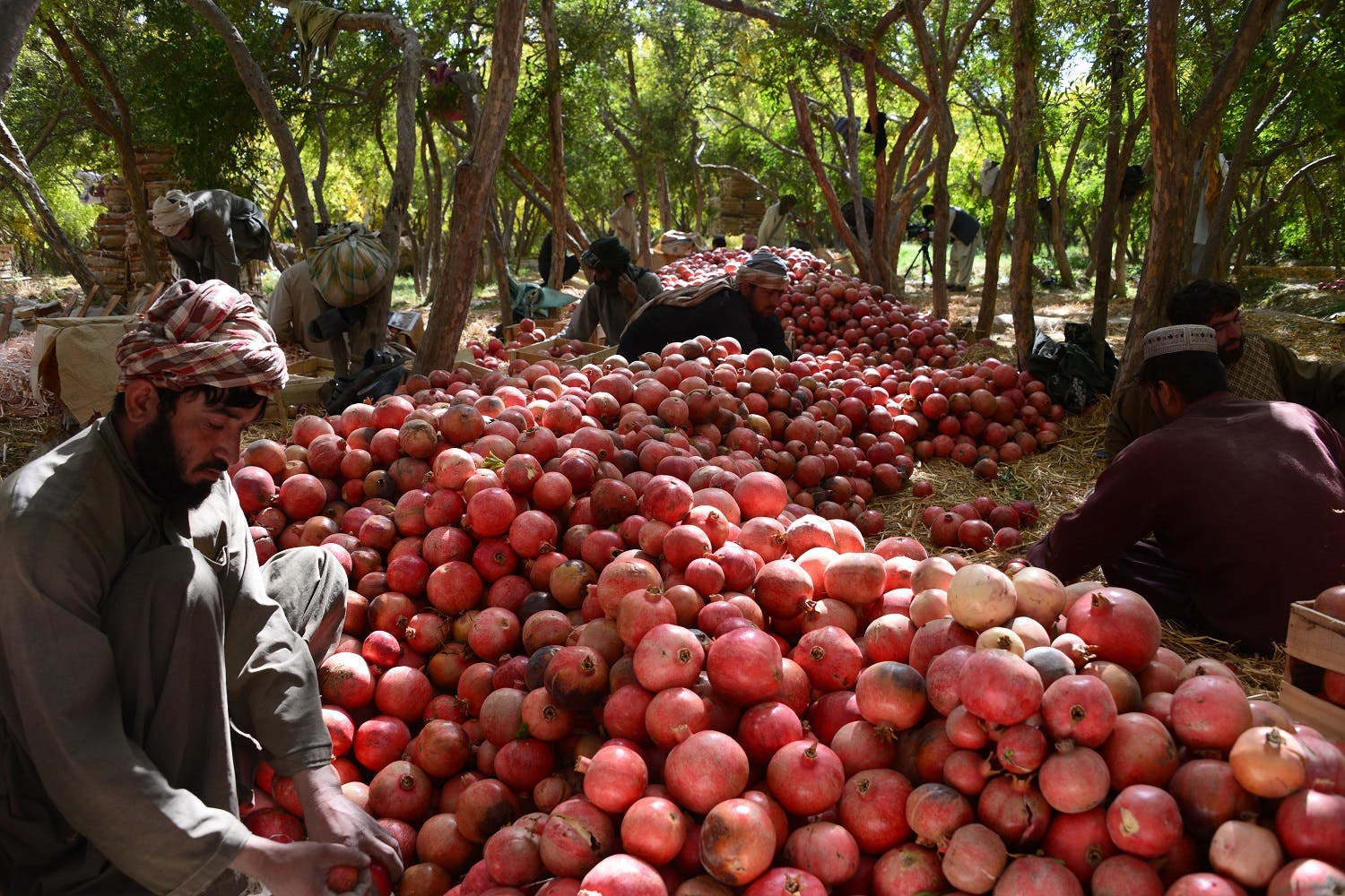 In this photograph taken on October 25, 2016, Afghan fruit vendors sort pomegranates on a farm in Kandahar. (AFP)