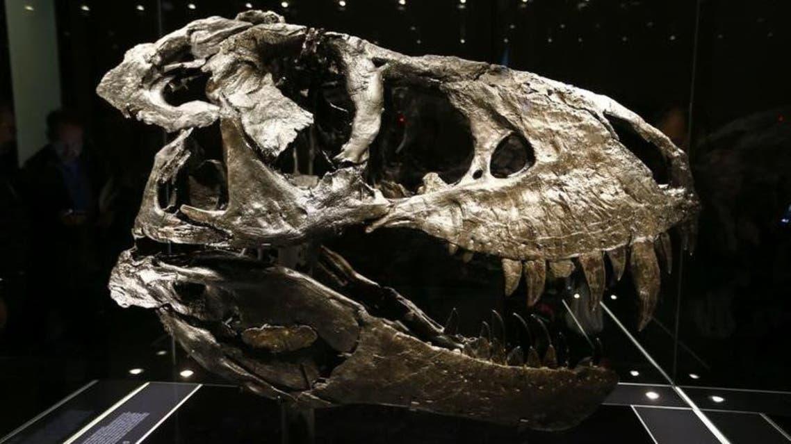 صورة لجمجمة أصلية لالتيرانوصور ركس (تي ركس)