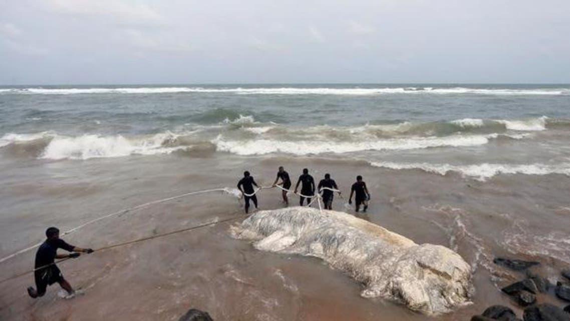 إعادة حيتان جانحة إلى البحر في سريلانكا