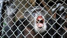 محكمة في نيويورك: الشمبانزي ليس كالبشر