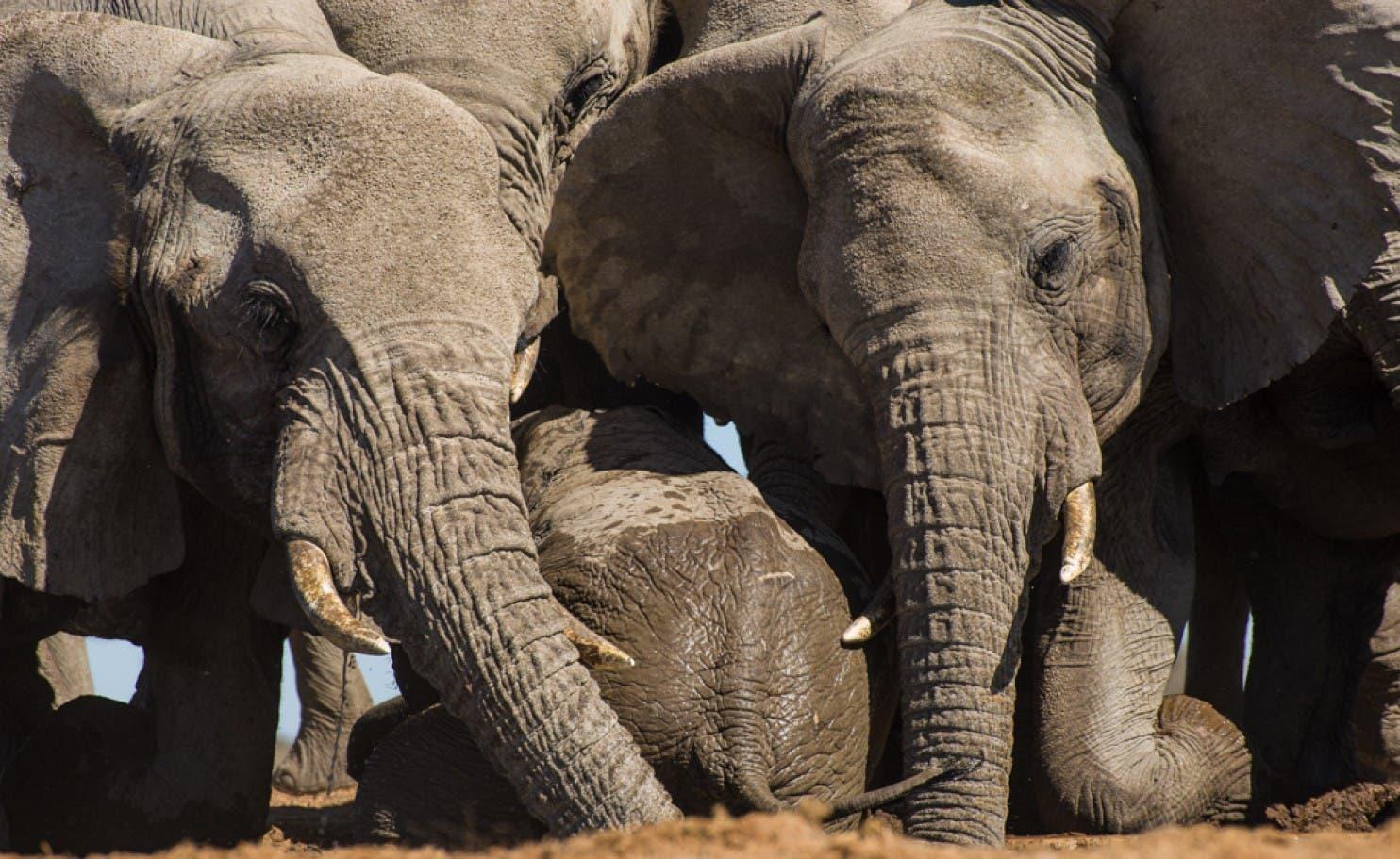 مشاهد أخرى من تعامل الفيلة البالغة مع صغارها المحبة للمياه