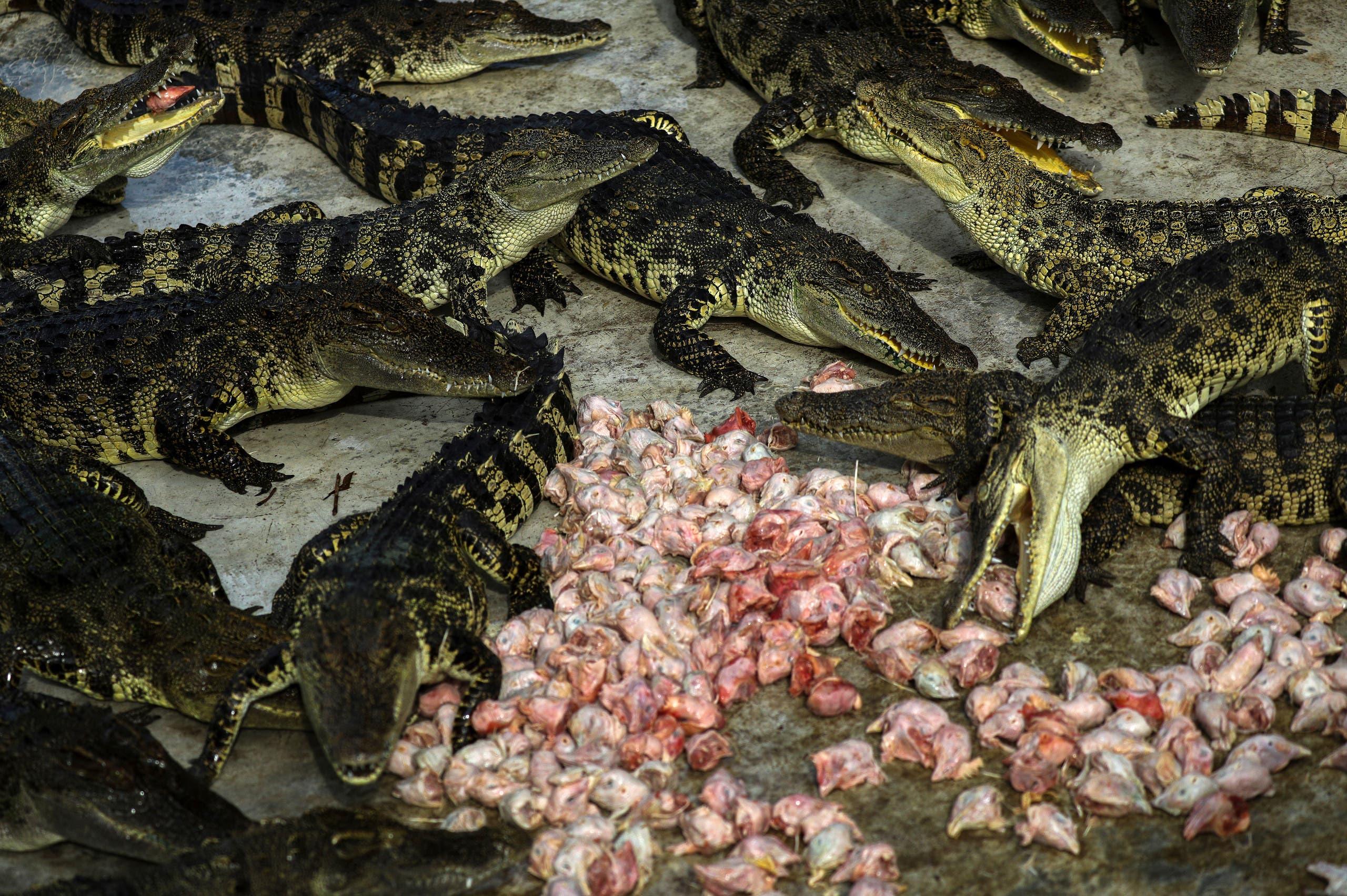 Thailand has the world's biggest crocodile farms