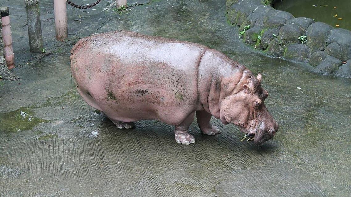 Bertha, 2.5-tonne female hippopotamus, in her enclosure in Manila zoo in the Philippine capital. (File Photo: AFP)