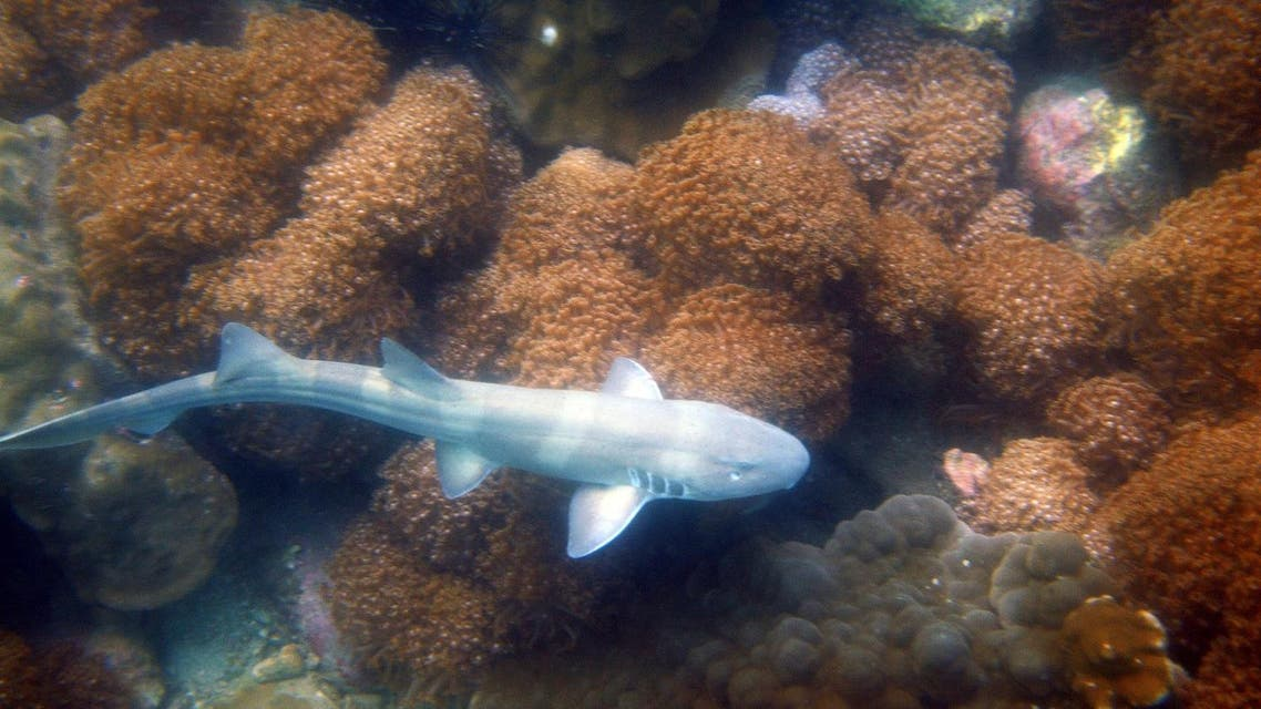 A baby bamboo shark swim over a coral reef. (AFP)